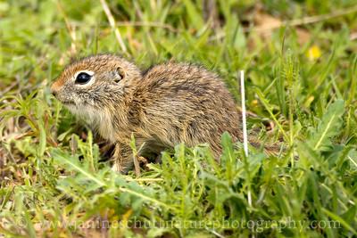 Washington Ground Squirrel pup near Warden, Washington.