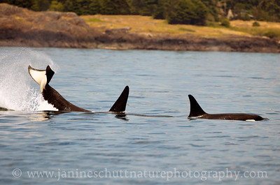 Orcas near San Juan Island, Washington.  Photo taken from an Island Adventures tour boat on June 29, 2013.