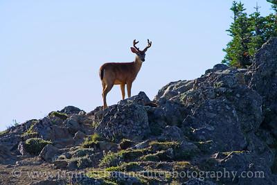 Black-tailed Buck at Hurricane Ridge in Olympic National Park, Washington.