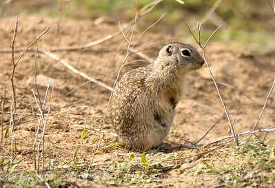 Washington Ground Squirrel near Warden, Washington.