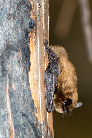 Little Brown Bat on a burnt ponderosa pine tree.  Photo taken near Cle Elum, Washington.
