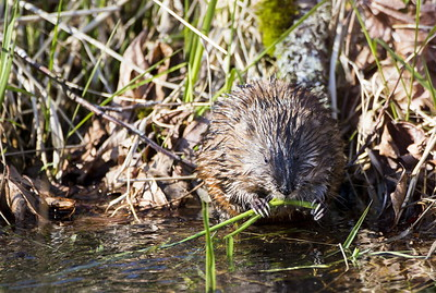 Common Muskrat at Nisqually National Wildlife Refuge near Olympia, Washington.