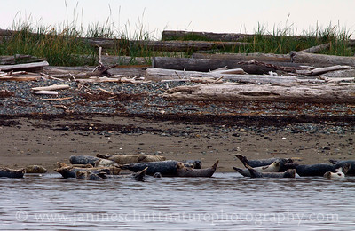Harbor Seals relaxing on the shore of Protection Island National Wildlife Refuge in Washington.