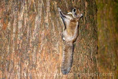 Northern Flying Squirrel near Bremerton, Washington.