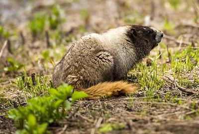 Hoary marmot near Paradise at Mt. Rainier National Park in Washington.