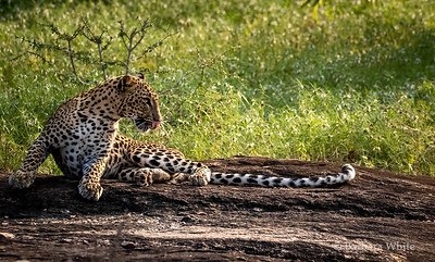 Leopard With The Long Tail