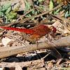 Red-veined Darter (Sympetrum fonscolombii)