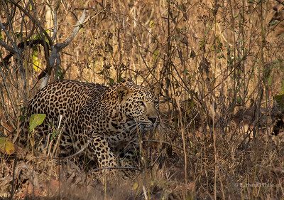 Well-camouflaged Leopard