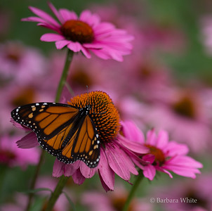 Monarch and Pink Flowers