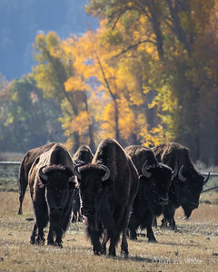 Bison and Flies