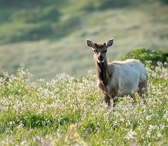 Male Tule Elk