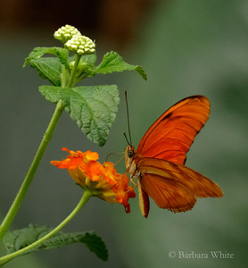 The Flame Butterfly