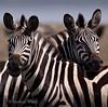 East Aftrica Wildlife