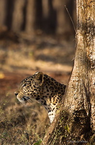 Leopard Showing His Face