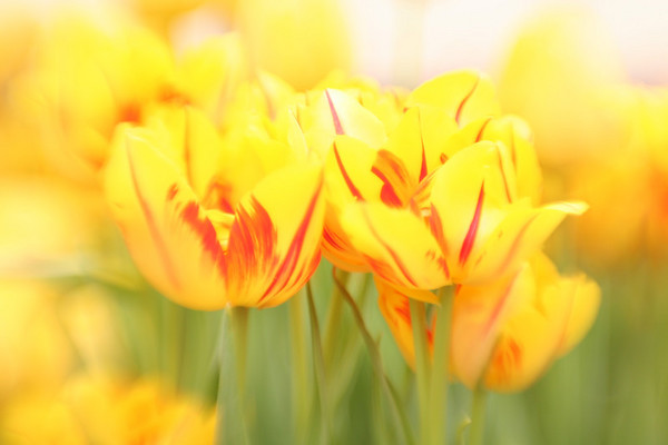 yellow tulip with red stripes, Phipps Conservatory.  Pittsburgh, Pa.