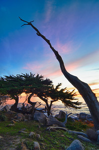 """The Ghost Tree"" 17 Mile Drive. Pebble Beach, California."