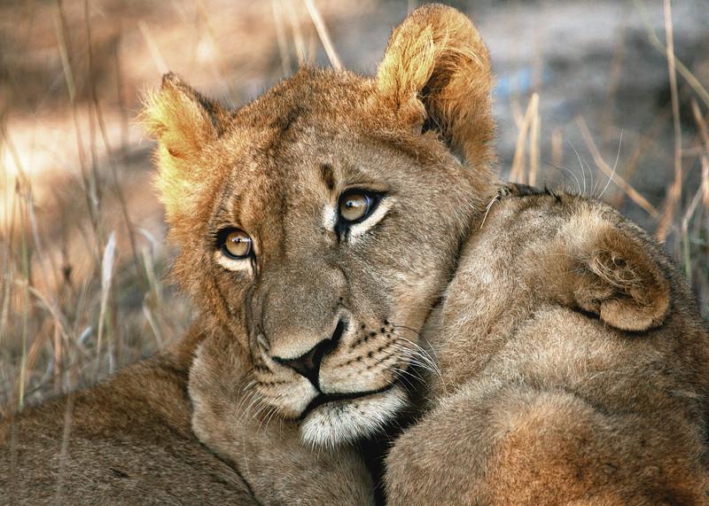 Lion Cubs Play Fighting in Kruger National Park