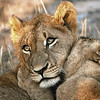 Lion Cubs Play Fighting in Kruger National Park