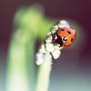 Lady Bird on Leaf in the Garden