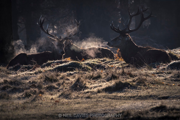 Stags in the frost