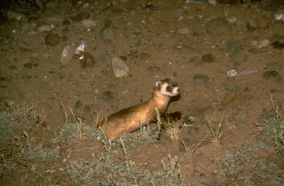 black-footed ferret at night exiting burrow