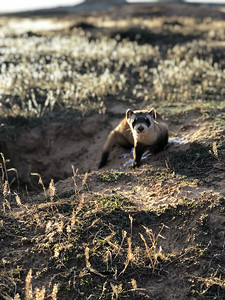 Black-footed ferret by Oaklee Trogstad