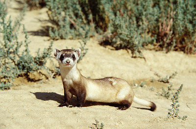 Black-footed ferret in sagebrush habitat