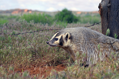 American badger in Utah. Photo by Lynn Chamberlain - Utah Division of Wildlife Resources