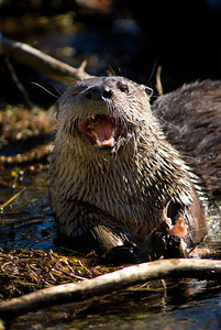 River otter with mouth open and teeth showing. Photo taken May 31, 2005 by Ron Stewart, Utah Division of Wildlife Resources