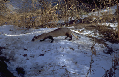 black-footed ferret hunting in snow covered area