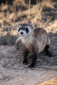 Black-footed ferret courtesy of Tom Howell