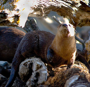 River otter sitting on some logs.  Photo taken 6-1-2005 by Ron Stewart, Utah Division of Wildlife Resources