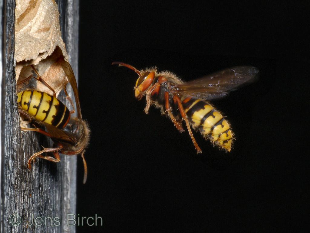 Hornets (bålgetingar)