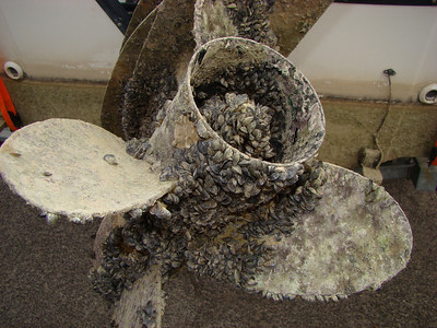 The prop on this boat motor at Lake Mead is covered with quagga mussels.  Mussels can clog the water intakes on a prop.  That can cause the motor to overheat and can seize the motor.  The result can be thousands of dollars in repairs