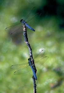 Unidentified species of dragonfly