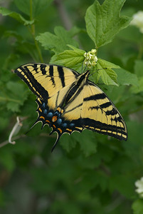 Swallowtail butterfly with wings open. Photo taken by J. Kirk Gardner, courtesy of Utah Division of Wildlife Resources