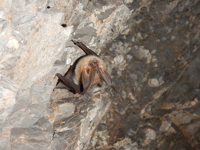 Townsend's big-eared bat in Crystal Cave, UT