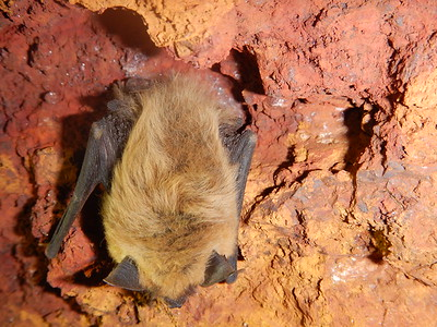 Western small-footed myotis