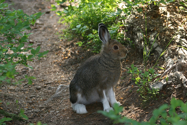 Snowshoe hare summer coat.  Photo by Phil Douglass