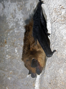 Big brown bat in Logan