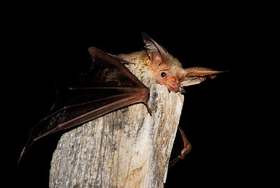 A bat recovers after processing during Meet the Bats Night. Photo by Brent Stettler, Utah Division of Wildlife Resources.