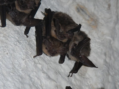 Townsend's big-eared bat hibernating cluster in Logan Cave