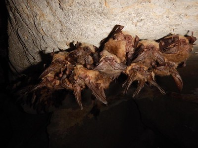 Townsend's big-eared bats