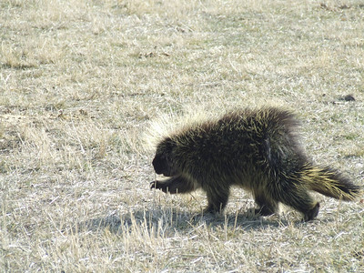 Porcupine on the move at Antelope Island State Park, Utah.  Photo by Utah State Parks and Recreation