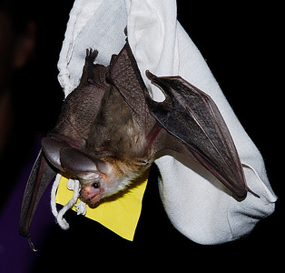 A pallid bat hangs from the capture bag during Meet the Bats Night in Southeastern Utah. Photo by Brent Stettler, 8-2-13.