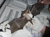 Pallid bat during processing