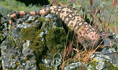 Gila monster in southwestern Utah. Photo by Lynn Chamberlain, Utah Division of Wildlife Resources