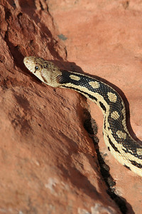 Gopher snakes live throughout Utah and parts of North America. These non-venomous snakes can grow to between 36 and 84 inches long (91 to 213 cm). Photo by Lynn Chamberlain, Utah Division of Wildlife Resources