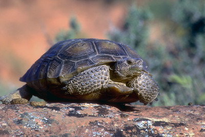 Three groups of desert tortoise, Gopherus agassizii, exist: 1) the California type, which is found in California and southern Nevada; 2) the Sonoran type, which inhabits areas south of the Grand Canyon; and 3) the Beaver Dam Slope type, which occurs in extreme southwestern Utah. Utah's Beaver Dam Slope population of desert tortoise is listed as threatened by the U.S. Fish and Wildlife Service.