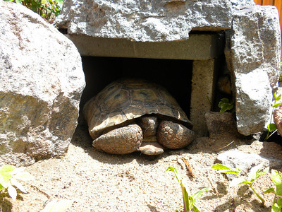 A burrow is among the items an adopted desert tortoise needs. Photo by Utah Division of Wildlife Resources.